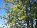 Photo_fond_ecran_-_arbre_-_sorbier_des_oiseaux_sorbus_aucuparia_.jpg