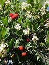 Photos_fruits_et_fleurs_-_arbouses_arbousier.jpg