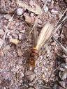 Photos_insectes_-_frelon_mangeant_une_mante_religieuse.jpg