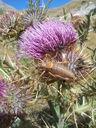 Photos_insectes_-_sauterelle_punaise_mouche_et_charancon_sur_chardon.jpg