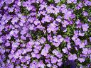 photos_nature_et_environnement_-_aubrietes__.jpg