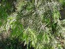 Photos_plantes_-_aiguilles_de_genevrier_cade.jpg