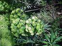 Photos_plantes_-_euphorbes.jpg