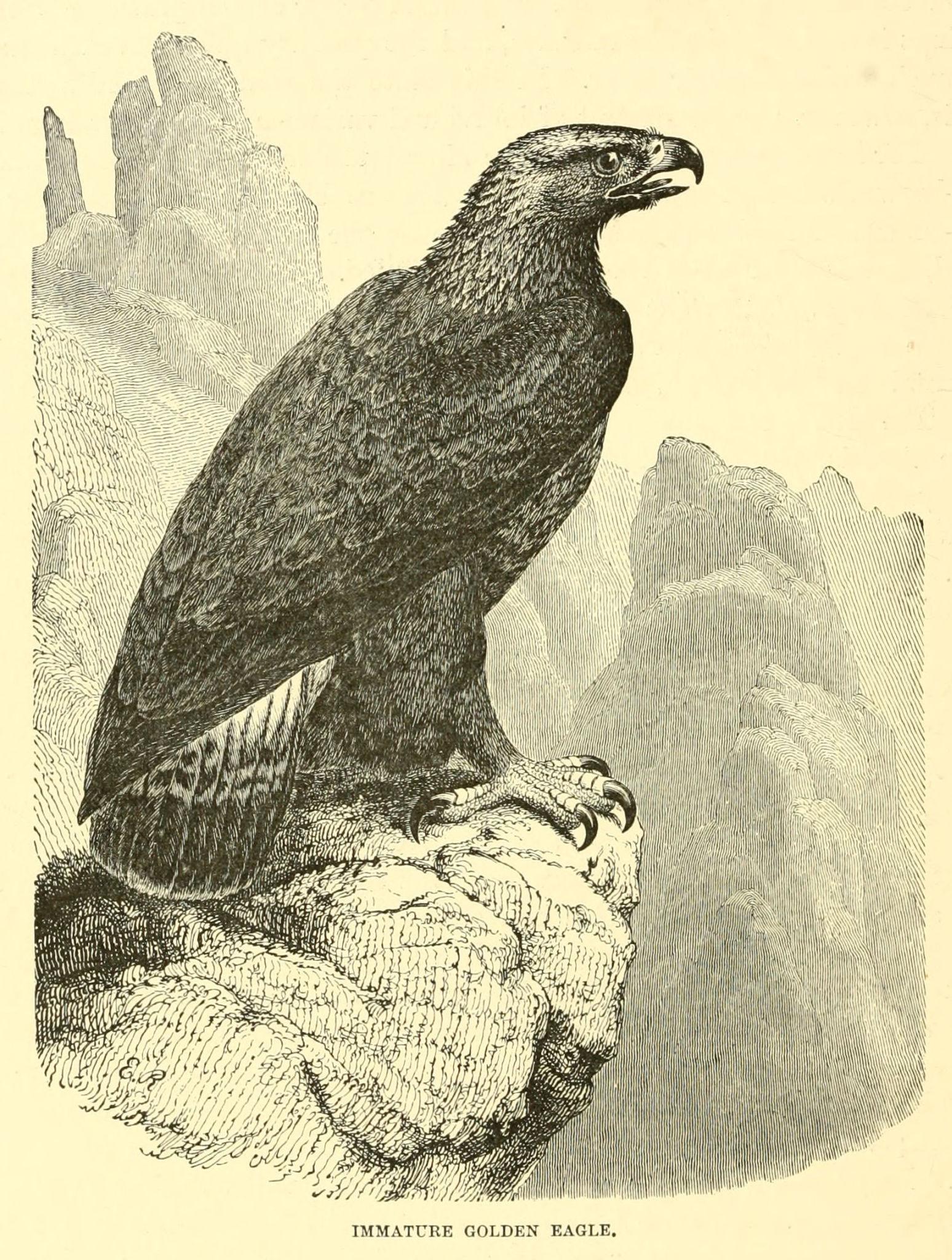 Immature golden eagle images