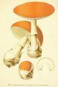 Atlas_des_champignons_-_amanita_caesarea.JPG