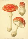 Atlas_des_champignons_-_amanita_muscaria.JPG