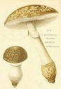 Atlas_des_champignons_-_amanita_pantherina.JPG