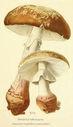 Atlas_des_champignons_-_amanita_rubescens.JPG