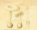 Atlas_des_champignons_-_amanita_verna.JPG