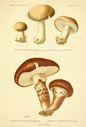 Atlas_des_champignons_-_armillaria_bulbigera.JPG