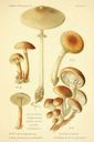 Atlas_des_champignons_-_armillaria_mellea.JPG