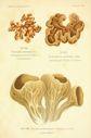 Atlas_des_champignons_-_auricularia_auricula-judae.JPG