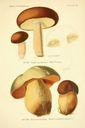 Atlas_des_champignons_-_boletus_aerus.JPG