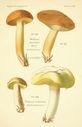 Atlas_des_champignons_-_boletus_collinitus.JPG