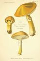 Atlas_des_champignons_-_boletus_flavus.JPG