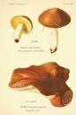 Atlas_des_champignons_-_boletus_granulatus.JPG
