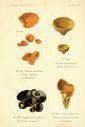 Atlas_des_champignons_-_bulgaria_inquinans.JPG