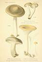 Atlas_des_champignons_-_clitocybe_suaveolens.JPG