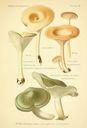Atlas_des_champignons_-_clitocybe_viridis.JPG