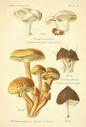 Atlas_des_champignons_-_clitopilus_prunulus.JPG