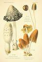 Atlas_des_champignons_-_coprinus_congregatus.JPG