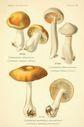 Atlas_des_champignons_-_cortinarius_alboviolaceus.JPG