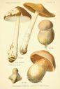 Atlas_des_champignons_-_cortinarius_eliator.JPG