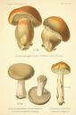 Atlas_des_champignons_-_cortinarius_purpurascens_caerulescens.JPG