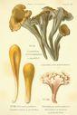 Atlas_des_champignons_-_craterellus_cornucopioides.JPG