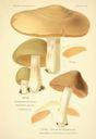 Atlas_des_champignons_-_entoloma_clypeatum.JPG