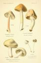 Atlas_des_champignons_-_hebeloma_crustiliniformis.JPG