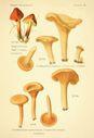 Atlas_des_champignons_-_hygrophoropsis_aurantiaca_ex_cantharellus_aurantiacus.JPG