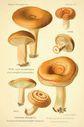 Atlas_des_champignons_-_lactarius_deliciosus.JPG