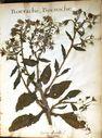 fleurs_herbier_-_bourrache_-_bouroche.jpg