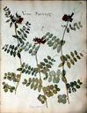 fleurs_herbier_-_vesse_sauvage.jpg