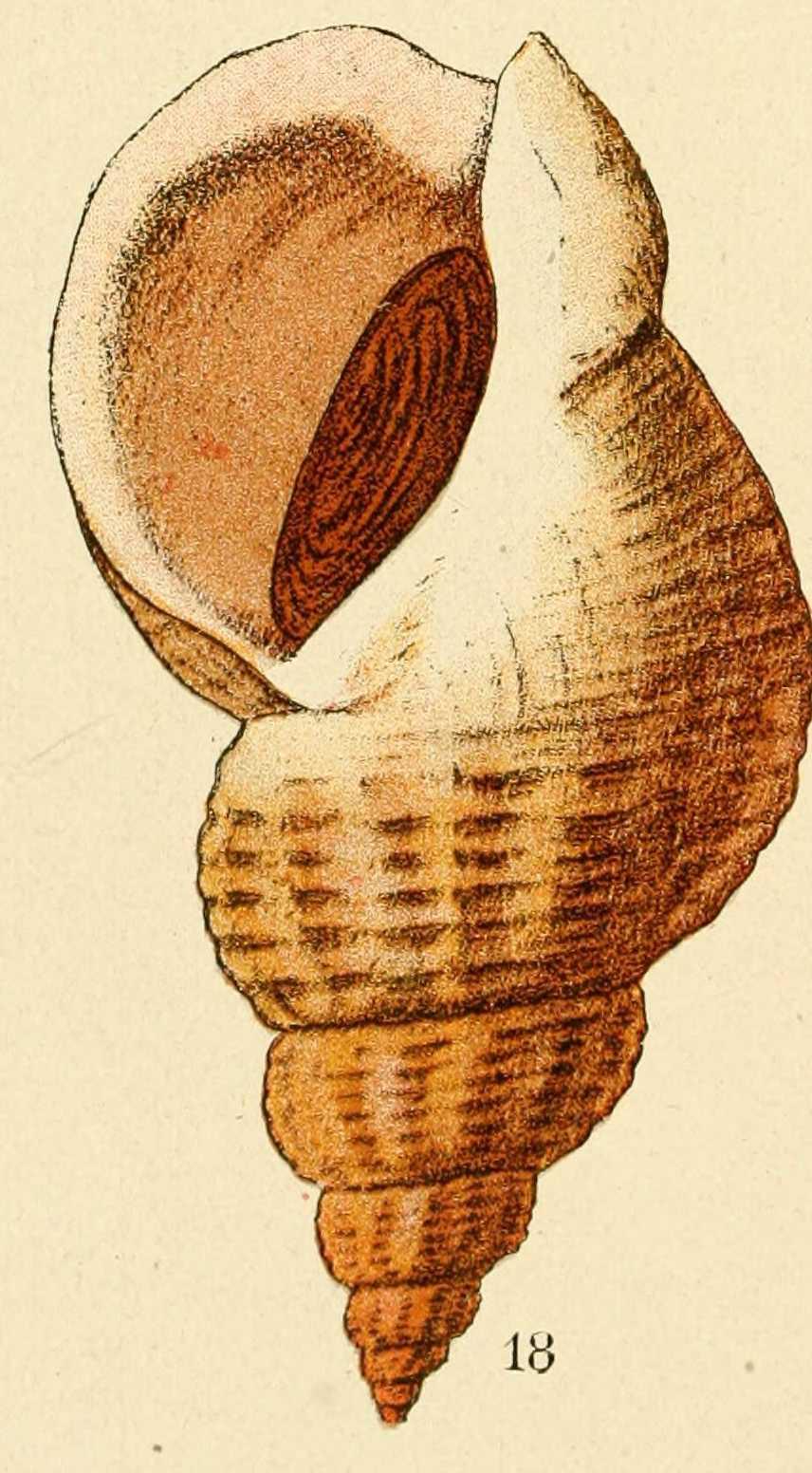 Gravures coquillages gravure de coquillage buccinum - Dessin de coquillage ...