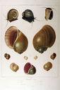 Gravures_de_coquillages_-_Ampullaria_fasciata_-_Ampullaria_dubia_-_Ampullaria_canaliculata_-_Ampullaria_fragilis_-_Ampullaria_virens_-_Ampullaria_roissii.jpg