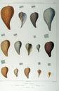 Gravures_de_coquillages_-_Ficus_ventricosa_-_Ficus_clathrata.jpg