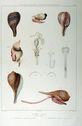 Gravures_de_coquillages_-_Ficus_ventricosus_-_Ficus_dussumieri.jpg