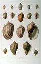 Gravures_de_coquillages_-_Harpa_coniodalis_-_Harpa_ventricosa_-_Harpa_minor_-_Voluta_cithara_-_Harpa_mutica.jpg