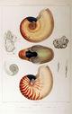 Gravures_de_coquillages_-_Nautilus_umbilicatus_-_Nautilus_pompilius.jpg