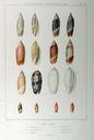 Gravures_de_coquillages_-_Oliva_acuminata_-_Oliva_subulata_-_Oliva_olympiadina.jpg