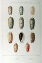 Gravures_de_coquillages_-_Oliva_azemula_-_Oliva_textilina.jpg