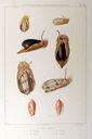 Gravures_de_coquillages_-_Oliva_elegans_-_Oliva_maura_-_Oliva_textilina_-_Oliva_angulata.jpg