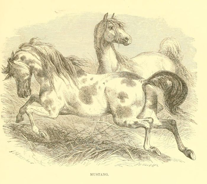 gravures histoire naturelle animaux - chevaux mustang