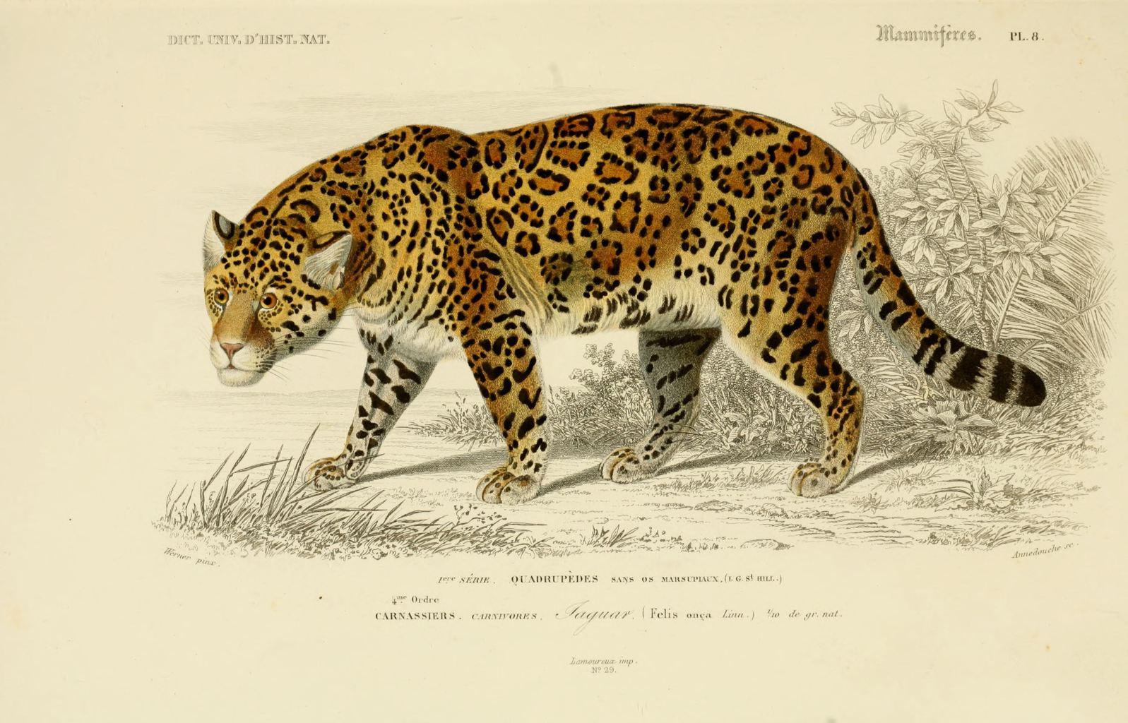 Gravures mammiferes gravure mammifere 0087 jaguar - Jaguar dessin ...