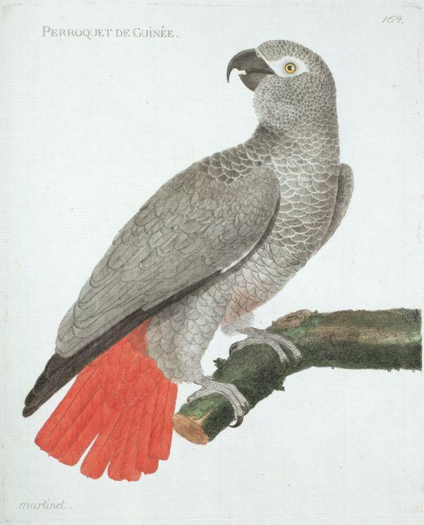 Gravures oiseaux par martinet gravure ancienne oiseau for Oiseau par la couleur