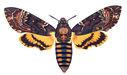 gravures_papillons_de_nuit_-_Acherontia_atropos.jpg