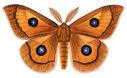 gravures_papillons_de_nuit_-_Aglia_tau.jpg