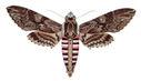 gravures_papillons_de_nuit_-_Agrius_convolvuli.jpg
